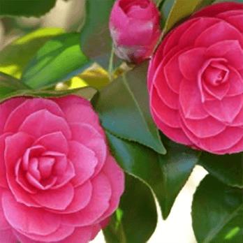 New-Coley-Camellia-min