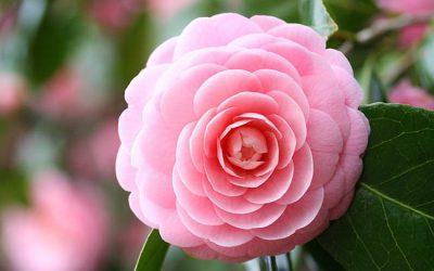 Karma Camellia!