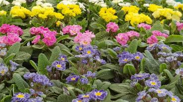 March 2021: Perennial Primula